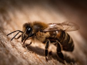 Honeybee up close