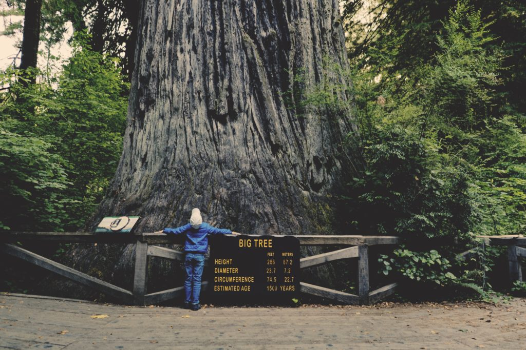 Huge tree trunk with sign and small person
