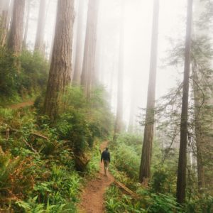 Forest path, very large trees, small person