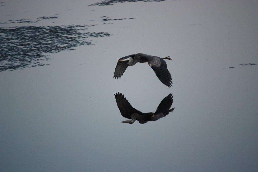Large bird flying over water