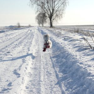snowy field, running dog