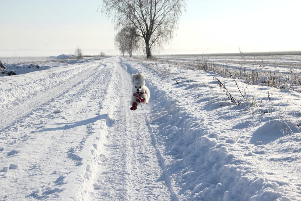 Snowy field, running dog
