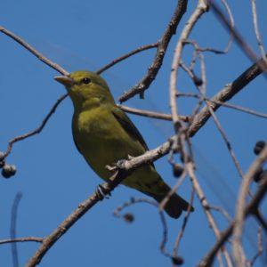 Olive green bird