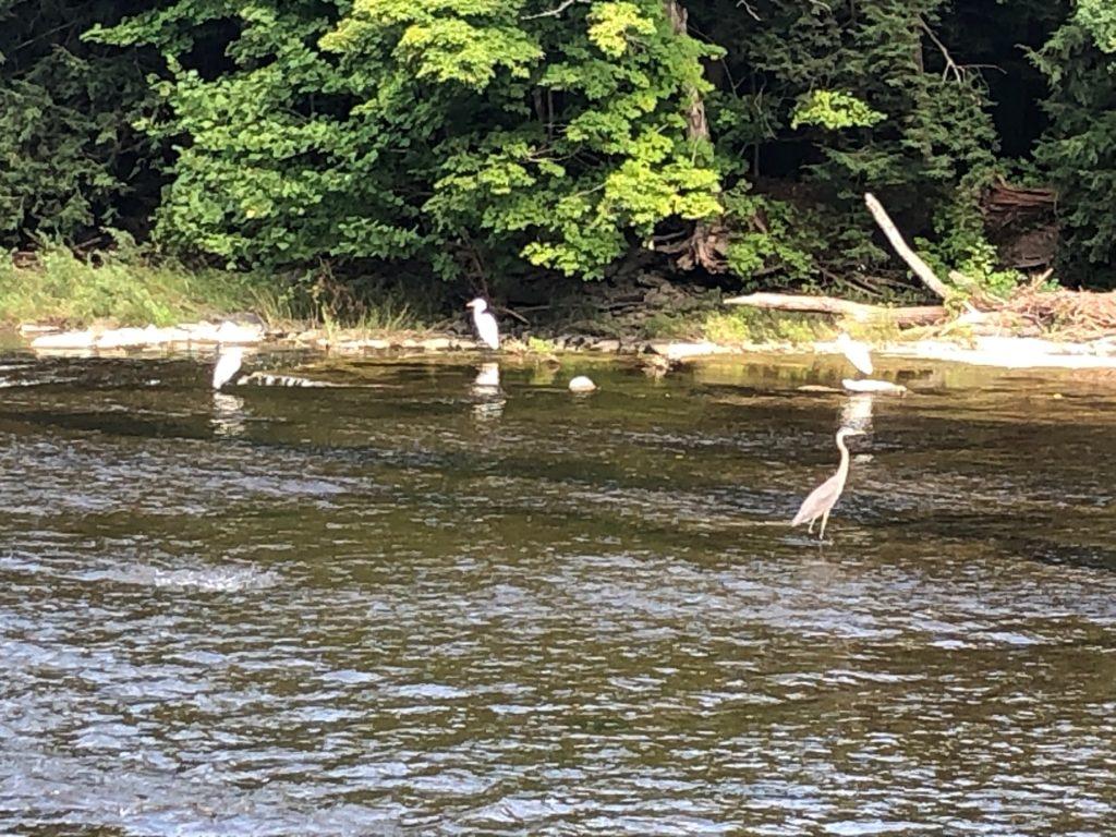 Three white birds standing in water