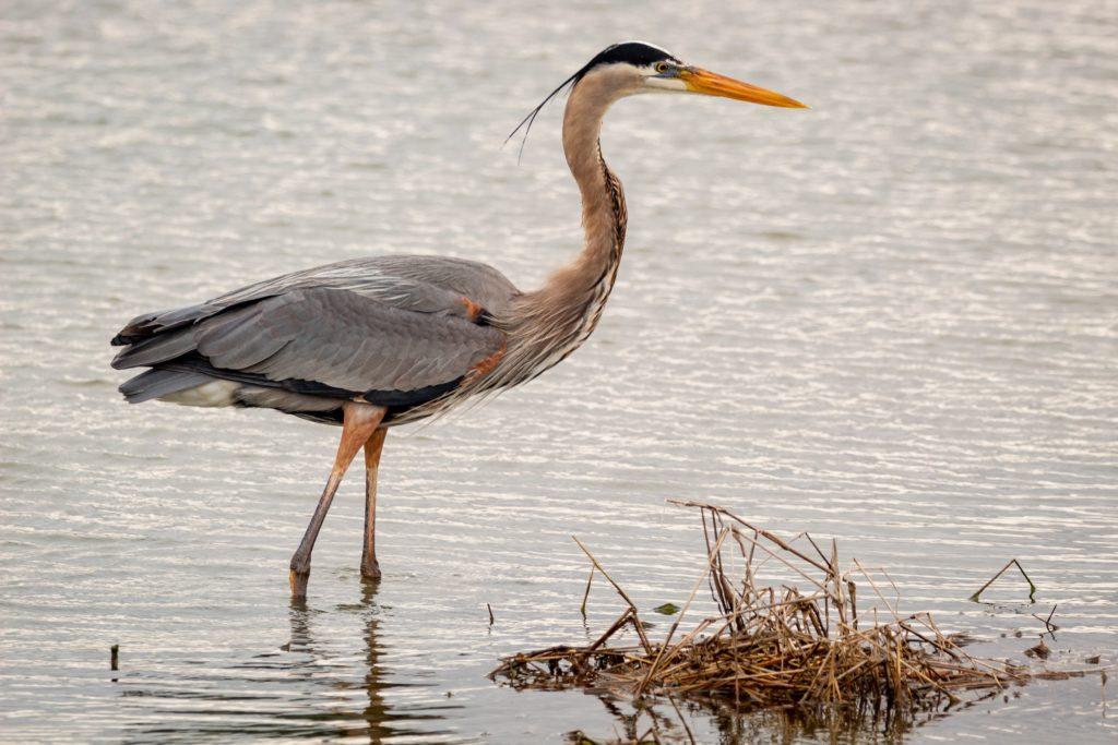 A tall grey bird standing in water