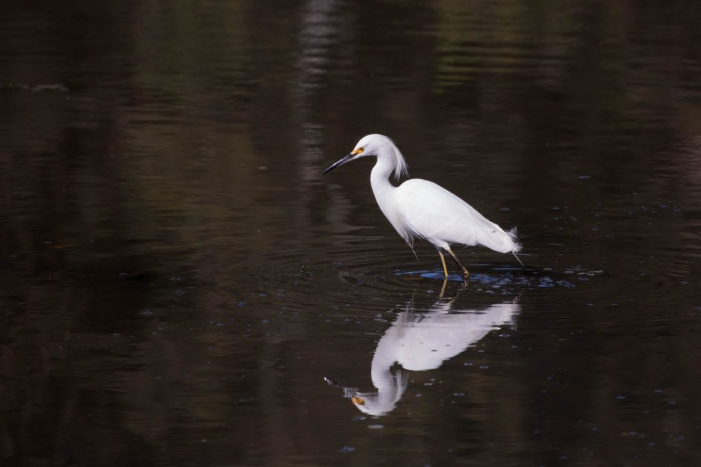 A large white bird standing in water